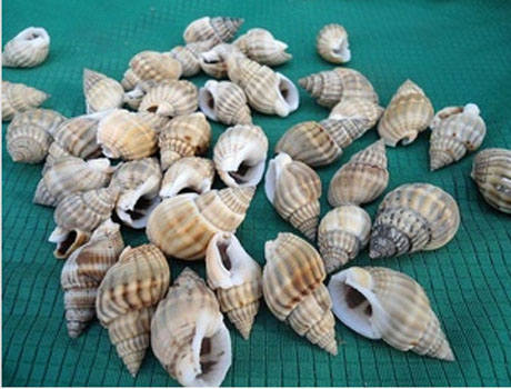 1-1.5CM Nature Conch Shell Beads(Sold with package of 30pcs)